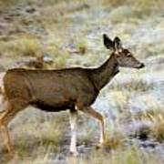 Mule Deer On The Move Poster