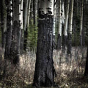 Muleshoe Trees Banff Poster