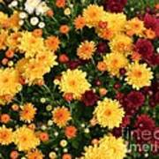 Multi Colored Mums Poster