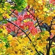 Multicolored Maple Poster
