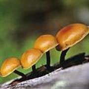 Mushrooms Growing On Log Poster