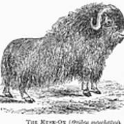 Musk Ox Poster