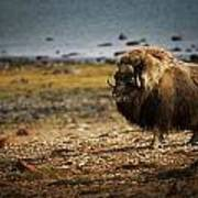Muskox Ovibos Moschatusin The Northwest Poster