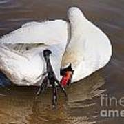 Mute Swan Grooming In Shallow Water 2 Poster