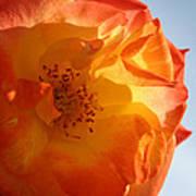 My Yellow Orange Rose Poster