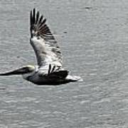 Naples Florida Pelican On The Prowl Poster