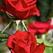 National Trust Rose Poster