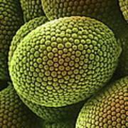 Nematode Worm Egg, Sem Poster