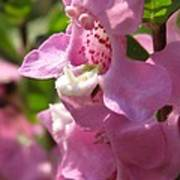 Nemesia Named Poetry Lavender Pink Poster