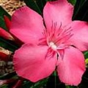 Nerium Oleander Pink Poster