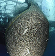 Net Full Of Ikan Puri, A Small Anchovy Poster