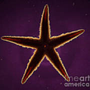 Netted Sea Star Poster