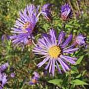 New England Aster Wildflower - Purple Poster