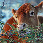 New Years Morning Cow Poster