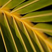 Niu - Cocos Nucifera - Hawaiian Coconut Palm Frond Poster