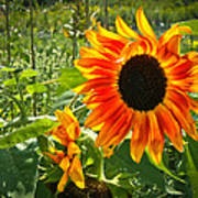 Noontime Sunflowers Poster