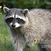 North American Raccoon Poster