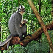 North Sumatran Leaf Monkey Presbytis Poster