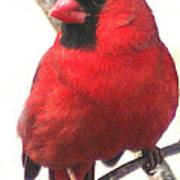 Northern Cardinal Closeup Poster