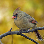 Northern Cardinal Female - D007849-1 Poster by Daniel Dempster