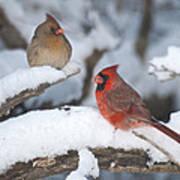 Northern Cardinal Pair 4284 2 Poster