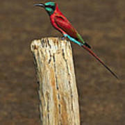 Northern Carmine Bee-eater Poster