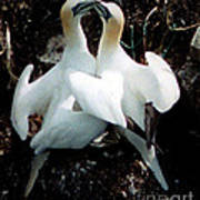 Northern Gannets Poster