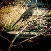 Northern Mockingbird On The Highline Poster