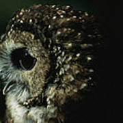 Northern Spotted Owl Strix Occidentalis Poster