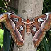 Not A Butterfly But An Atlas Moth Poster