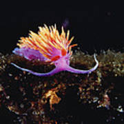 Nudibranch Brightly Colored Arctic Ocean Poster by Flip Nicklin