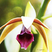 Nun's Cap Orchid -5 Poster
