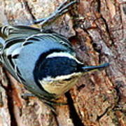 Nuthatch Heading Down Poster