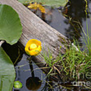 Nymphaea Odorata In Yellow Poster