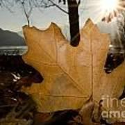 Oak Leaf In Backlight Poster