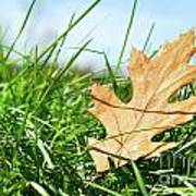 Oak Leaf In The Grass Poster