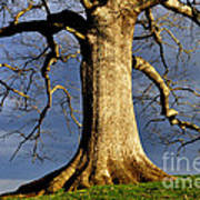 Oak Tree And Storm Clouds Poster