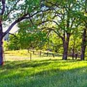 Oak Trees In The Spring Poster