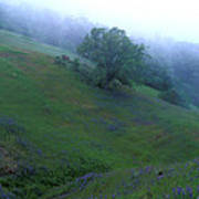 Oak With Lupine In Fog Poster by Kathy Yates