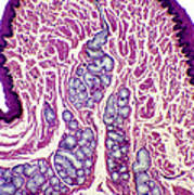 Oesophagus Wall, Light Micrograph Poster