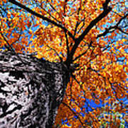 Old Elm Tree In The Fall Poster