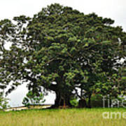 Old Fig Tree - Ficus Carica Poster by Kaye Menner