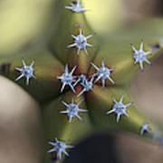 Old Man Cactus Lophocereus Schottii Poster