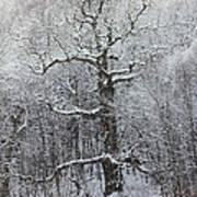Old Oak Tree  Poster