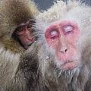 Older Snow Monkey Being Groomed By A Poster