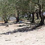 Olive Trees In Sebastia Nablus Poster