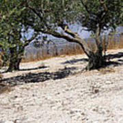 Olive Trees Standing Alone Poster