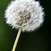 One Dandelion Flower Isolated  Poster