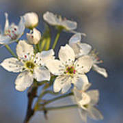 One Fine Morning In Bradford Pear Blossoms Poster