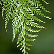 One Hanging Fern Poster